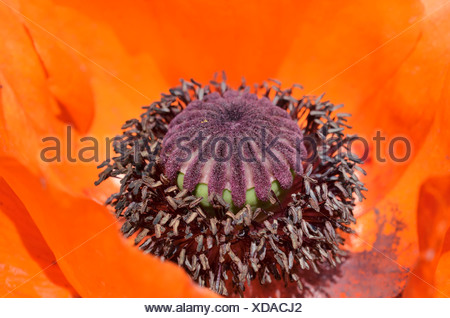 capsule fruit poppy