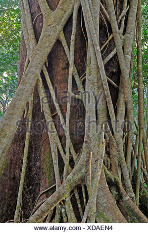 Moreton Bay Fig wrapped around an ancient forest giant in Lamington National Park, Australia - Stock Photo
