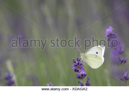 Cabbage butterfly or large white butterfly, Pieris brassicae, resting on lavender, Lavandula angustifolia. - Stock Photo
