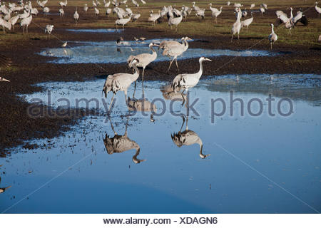 Common Crane (Grus grus) a flock in wetland, hula valley, israel. Large migratory crane species that lives in wet meadows and ma