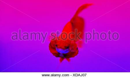 Close-Up Of Siamese Fighting Fish Swimming At Aquarium - Stock Photo