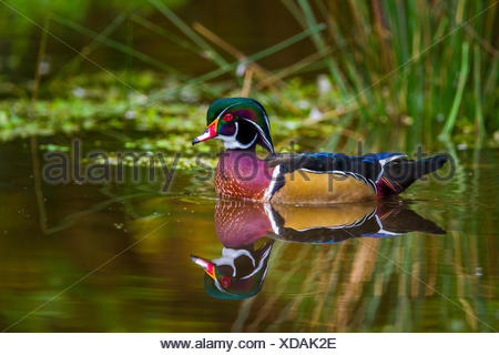 Wood Duck (Aix sponsa)  Swimming and looking for food. Stanley Park, Vancouver, British Columbia, Canada
