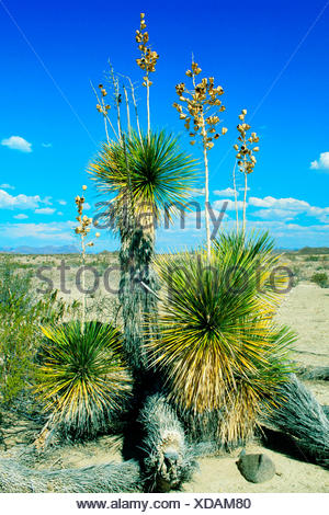 yucca (Yucca spec.), Giant Dagger Yucca in Big Bend National Park, Texas, USA, Texas - Stock Photo