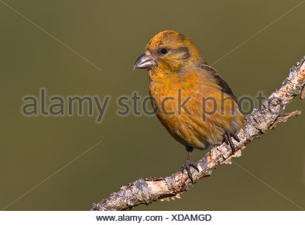 Red crossbill (Loxia curvirostra) on perch at Observatory Hill, Saanich, British Columbia, Canada - Stock Photo