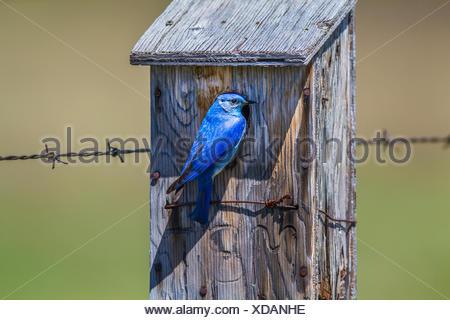 Mountain Bluebird (Sialia currucoides) Beautiful and pretty,  the colorful male bluebird sitting at nesting box. Wateton National Park, Albeta, Canada - Stock Photo