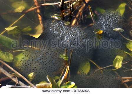 European frog Rana temporaria frogspawn mass in garden pond - Stock Photo