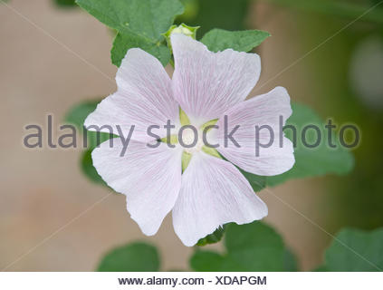 Thuringian Tree Mallow (Lavatera thuringiaca), flowering, Thuringia, Germany - Stock Photo