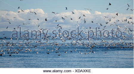 Seagulls and other birds flying over sea, Puget Sound, Washington, USA - Stock Photo