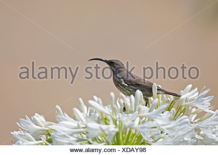 Female Greater Double-collared Sunbird Cinnyris afer feeding on Agapanthus flower in Outeniqua Mountains Western Cape Province - Stock Photo