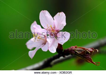 Sargent Cherry, Sargent's Cherry (Prunus sargentii), flowers