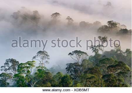 Mist hanging over Lowland Dipterocarp Rainforest just after sunrise. Danum Valley Conservation Area, Sabah, Borneo. - Stock Photo