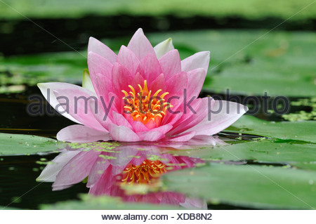 water lily, pond lily (Nymphaea spec.), pink waterlily, Germany - Stock Photo