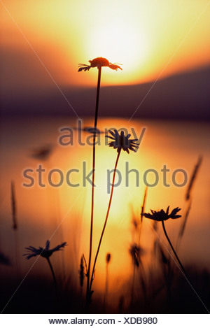Silhouette of daisies - Stock Photo