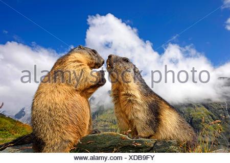 Alpenmurmeltier, Alpen-Murmeltier (Marmota marmota), zwei Murmeltiere begruessen einander, Italien | alpine marmot (Marmota marm - Stock Photo