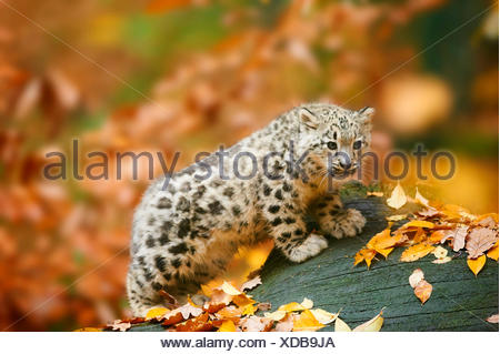 snow leopard (Uncia uncia, Panthera uncia), cub standing in autumn on a dead tree trunk - Stock Photo