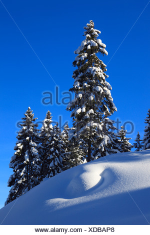 Norway spruce (Picea abies), snowy spruces with blue sky and sunshine, Switzerland - Stock Photo