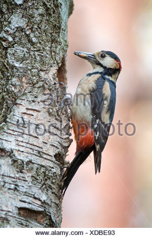 Great spotted woodpecker (Dendrocopos major) adult bringing food to the breeding burrow, male, Middle Elbe Biosphere Reserve - Stock Photo