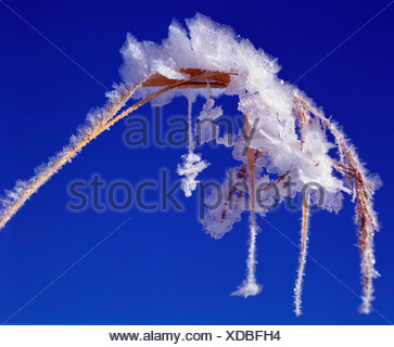 Frostwork on reed - Stock Photo
