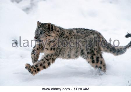 Snow Leopard / Irbis / Schneeleopard - Stock Photo