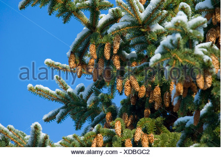 Norway spruce (Picea abies), snow-covered branch wi9th cones, Germany - Stock Photo