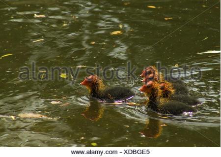 Coots, Fulica atra, chicks, water, swim, five, - Stock Photo