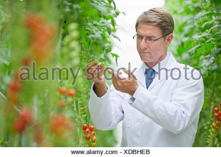 Focused food scientist examining vine tomato plants in greenhouse - Stock Photo