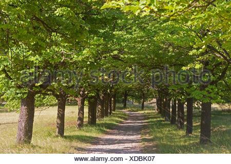 common horse chestnut (Aesculus hippocastanum), horse chestnut alley in Kyffhaeuser, Germany, Thueringen - Stock Photo