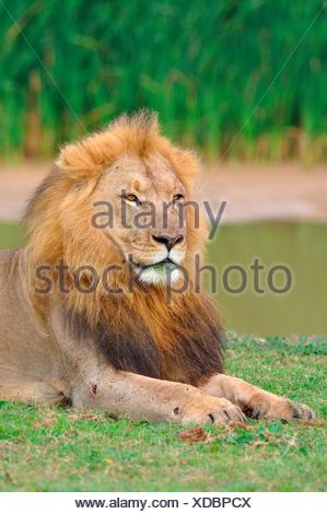 Lion (Panthera leo), male lying in grass, Addo Elephant National Park, Eastern Cape, South Africa - Stock Photo
