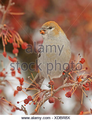 Pine Grosbeak female, Pinicola enucleator, feeding on fruit in Saskatoon, Saskatchewan, Canada - Stock Photo