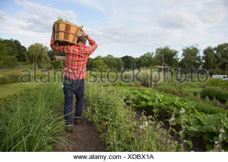 Mature man carrying basket of leaves on herb farm - Stock Photo