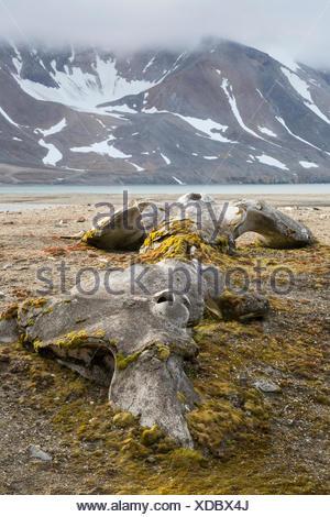 Bones Bowhead Whale Balaena mysticetus arctic landscape Hornsund Svalbard - Stock Photo