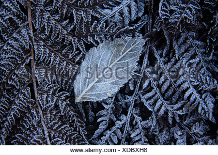 Fern covered with frost - Stock Photo