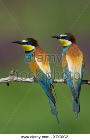 Europe, Hungary, View of European bee eaters perched on branch, close-up - Stock Photo