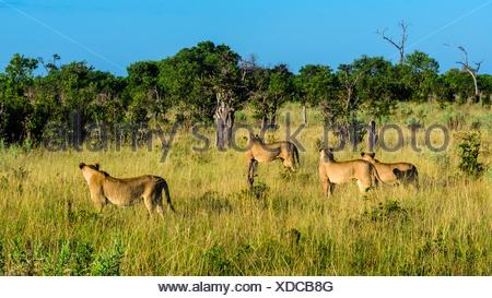 Female lions in the bush, Kwando Concession, Linyanti Marshes, Botswana. - Stock Photo
