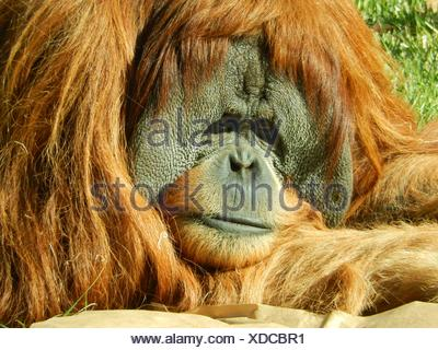 Close-Up Of Orangutan - Stock Photo