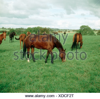 A group of horses grazing on good pasture - Stock Photo