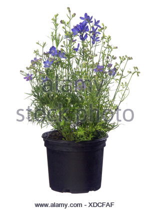 larkspur, Chinese delphinium (Delphinium grandiflorum), cv. Delfix Blue - Stock Photo