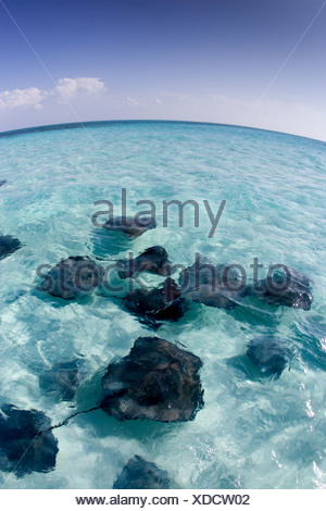 Stingrays, Grand Cayman. - Stock Photo