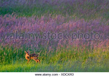 a few weeks old Roe deer in meadow habitat; een enkele weken oude reekalf in grasland bij laatste avondlicht - Stock Photo