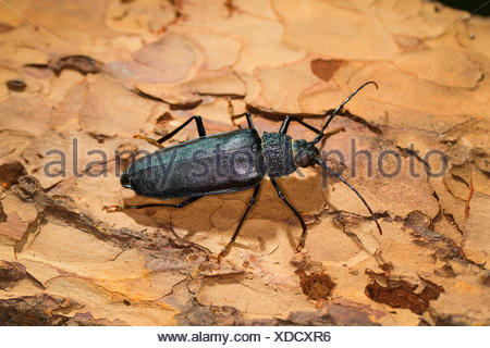 Carpenter longhorn, Long horned beetle (Ergates faber), female on deadwood, Germany - Stock Photo