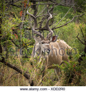 Greater Kudu (Tragelaphus strepsiceros) feeding in dense bush, Okavango Delta, Botswana - Stock Photo