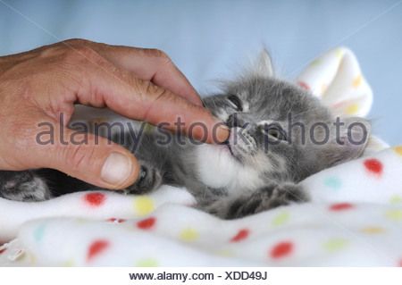 Persian kitten on a spotted blanket, sniffing a finger - Stock Photo
