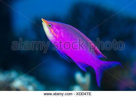 Yellowback Anthias, Pseudanthias tuka, Russell Islands, Solomon Islands - Stock Photo
