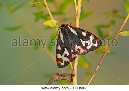 Wood Tiger (Parasemia plantaginis, Phalaena plantaginis), female, Germany - Stock Photo