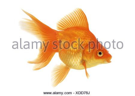 goldfish, common carp, fantail (Carassius auratus auratus) - Stock Photo