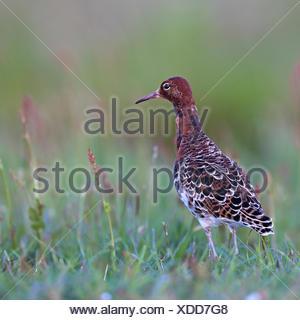 ruff (Philomachus pugnax), male standing in a meadow, Netherlands, Frisia - Stock Photo