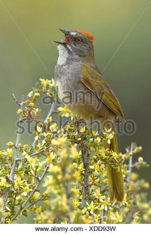 Green-tailed towhee (Pipilo chlorurus) singing while perched on branch in Deschutes National Forest, Oregon, USA - Stock Photo