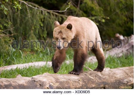 Grizzly bear Ursus arctos horribilis Knight Inlet British Columbia