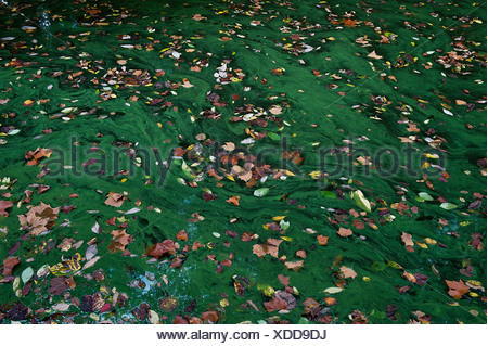 Autumn leaves in a stagnant pool of green algae. - Stock Photo