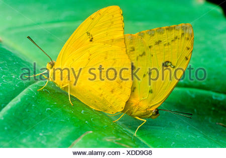 Orange-barred Sulphur Butterflies mating (Phoebis philea philea) ventral view S W USA (strays far N) S TX to Peru; Galapagos